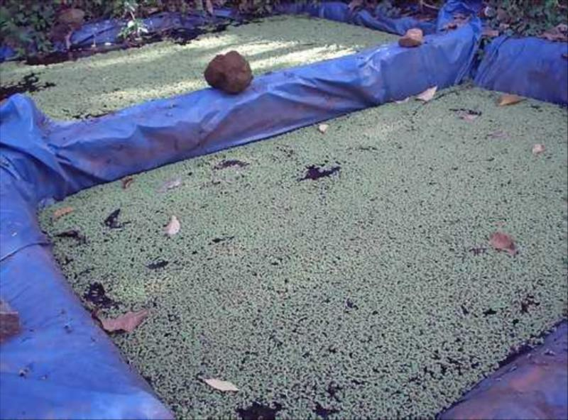 Alternative Fodder Azolla at Acres Wild Organic Cheesemaking Farm, Coonoor, India
