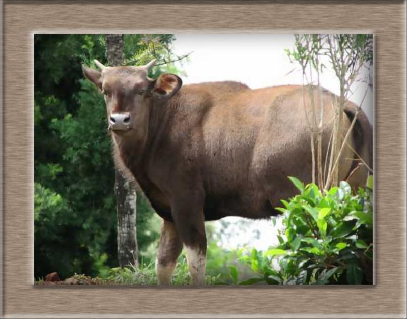 Indian Gaur (Bison)