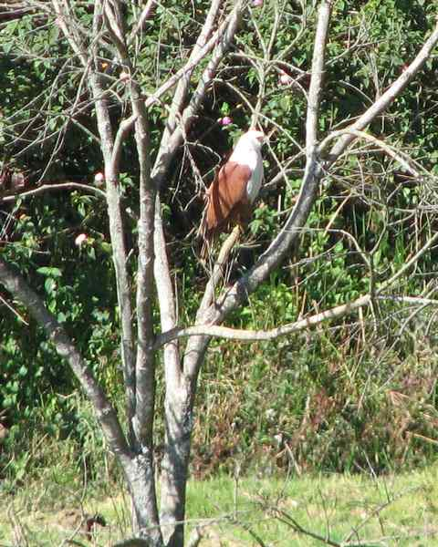 Brahmini Kite - Birds in Nilgiris