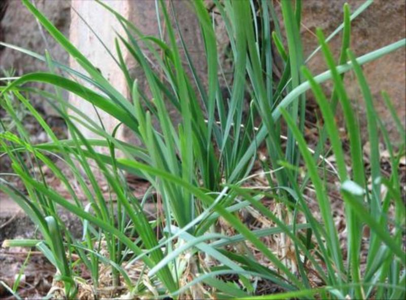 Chives Organic Herb for Gourmet Cheesemaking in Biosphere Ecosystem of Nilgiris   at Acres Wild Cheesemaking Farmstay, Coonoor, India