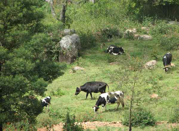 Cow's Grazing on Pasture at Acres Wild Organic Farm, Coonoor, India