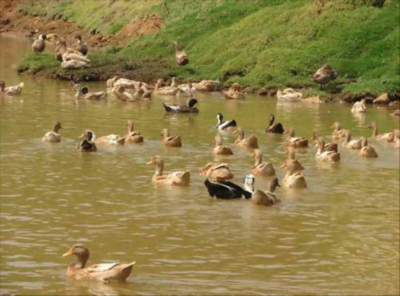 Ducks in Natural Pond Ecosystem in Nilgiri Biosphere  in Biosphere Ecosystem of Nilgiris   at Acres Wild Cheesemaking Farmstay, Coonoor, India