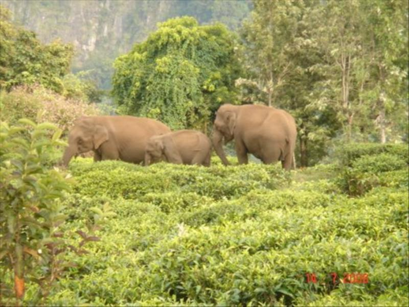 Elephants at Acres Wild Cheeesmaking Farmstay, Coonoor, India