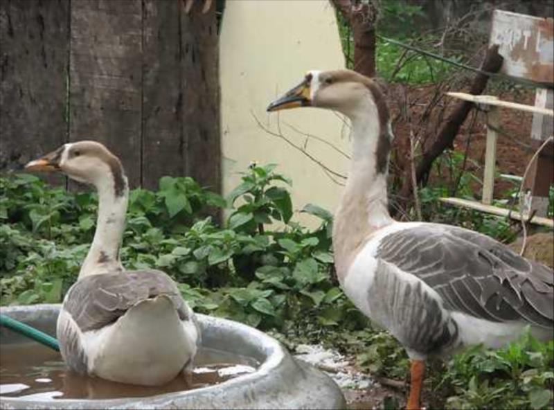 Geese at Acres Wild Organic Cheesemaking Farm, Coonoor, India