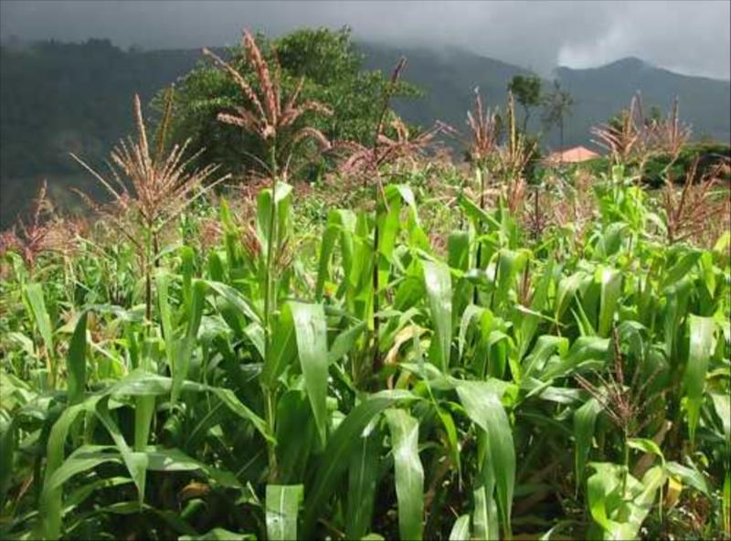 Maize Organic in Biosphere Ecosystem of Nilgiris   at Acres Wild Cheesemaking Farmstay, Coonoor, India