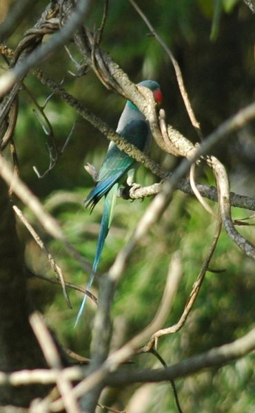 Malabar Parakeet - Bird Watching in Ooty