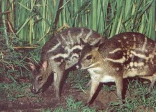 Indian Mouse Deer
