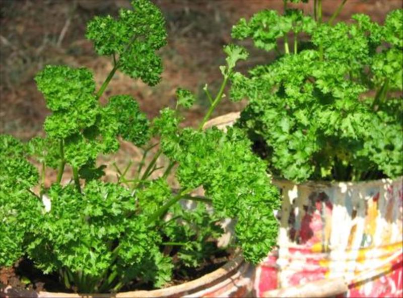 Parsley Herb at Acres Wild Organic Farm, Coonoor, India
