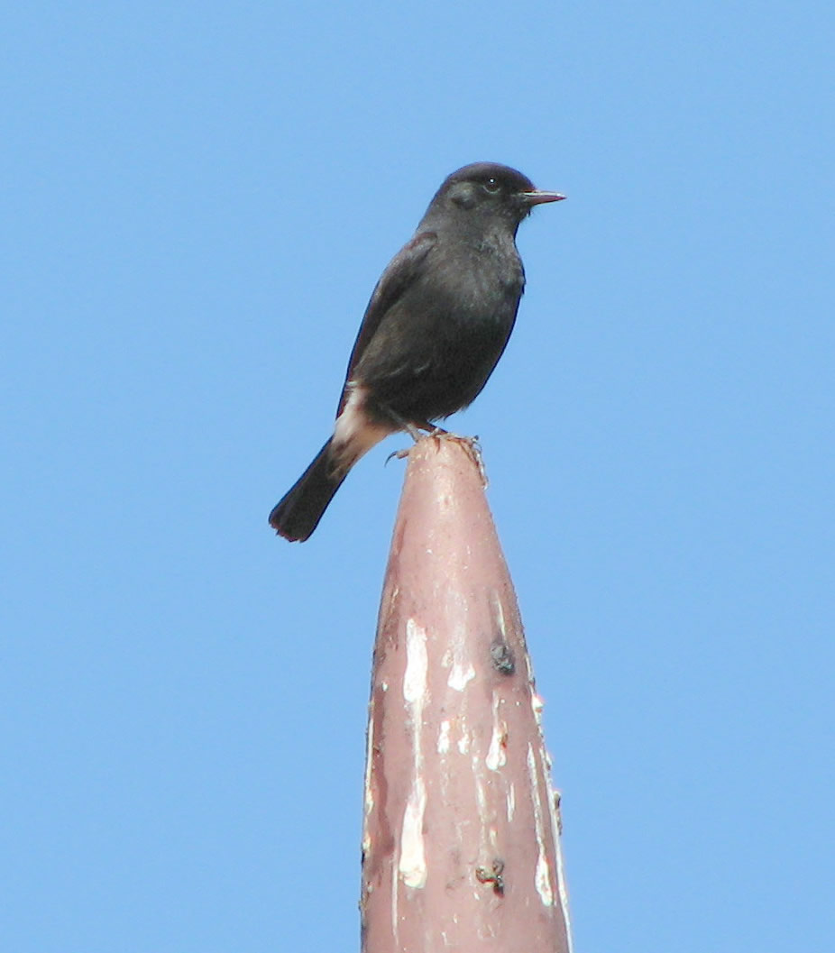 Pied Bush Chat - Bird Species in Nilgiris