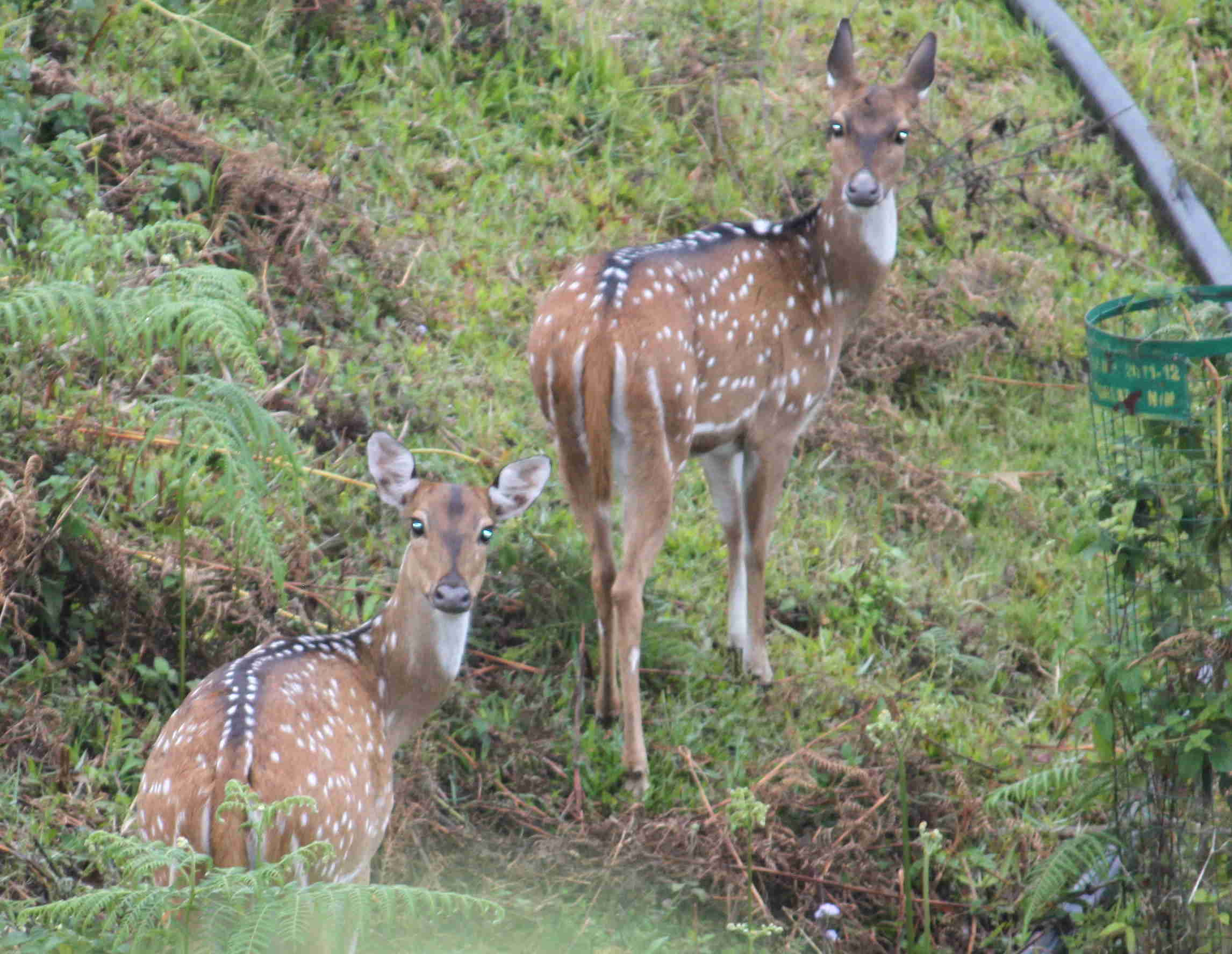 Spotted Deer at Acres Wild Cheesemaking Farmstay, Coonoor