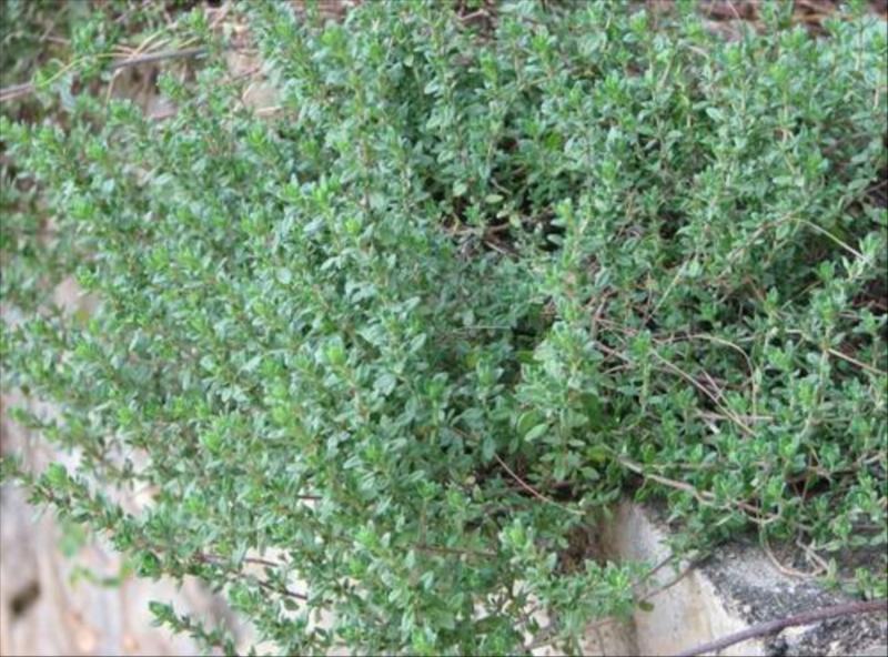 Thyme Herb at Acres Wild Organic Cheesemaking Farm, Coonoor, India