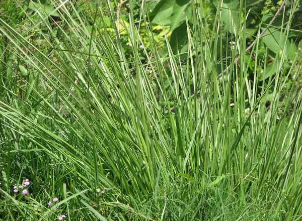 Vetiver Grass at Acres Wild Organic Cheesemaking Farm, Coonoor, India