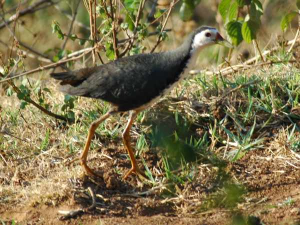 Water Hen - Bird Watching in Nilgiris