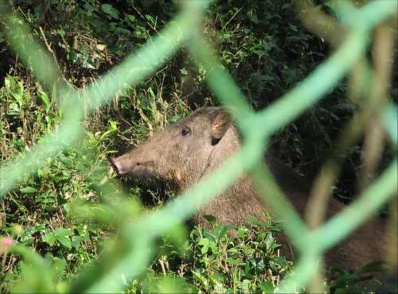 Wild Boar in Biosphere Ecosystem of Nilgiris   at Acres Wild Cheesemaking Farmstay, Coonoor, India